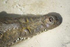 Нос крокодила стоковое изображение rf