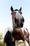 Нос лошади. Стоковое Изображение RF