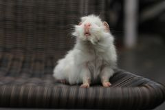 Нос морской свинки Стоковые Фото