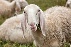 Нос овцы с потоком травы в его рте Стоковое Фото