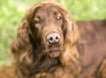 Нос смешной милой собаки Стоковая Фотография