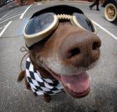 нос собаки Стоковое Изображение RF