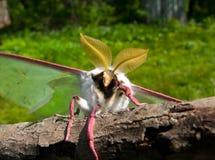 ноча бабочки 11 artemis actias Стоковая Фотография RF