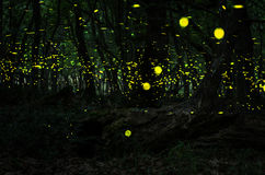 Ноча светляков в лесе с светляками Стоковая Фотография RF