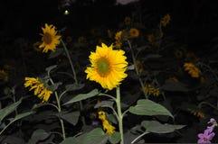 ноча фотоснимка цветка солнцецвета стоковая фотография