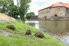 Нутрии или крыса реки подавая рекой Стоковые Изображения
