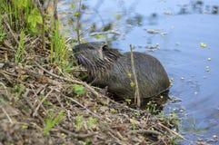 Нутрии Myocastor большой травоядный semiaquatic грызун, небольшой волосатый зверь на речном береге есть зеленое растение стоковое фото