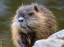 Нутрии myocastor Nutria латинские известные также как крыса реки стоковые изображения rf