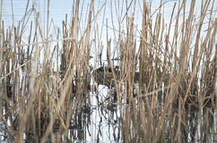 Нутрия в тростниках Стоковые Изображения