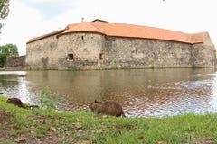 Нутрия или крыса реки подавая рекой Стоковое Фото