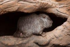 Нутрия (нутрии Myocastor), также известная как крыса или nutria реки Стоковые Изображения RF