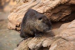 Нутрия (нутрии Myocastor), также известная как крыса или nutria реки Стоковые Фото
