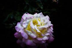 Нью-Йорк - цветок Стоковое Изображение