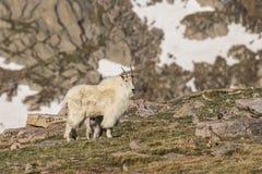 няня горы малыша козочки стоковая фотография rf