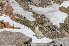 няня горы малыша козочки стоковое фото rf