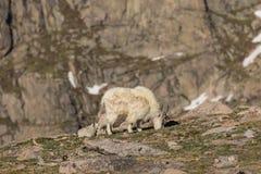 Няня и детеныши козы горы стоковое фото rf