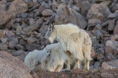 Няня и дети козы горы стоковая фотография rf