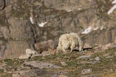 Няня и дети козы горы стоковые фото