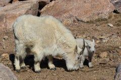 Няня и дети козы горы стоковые изображения