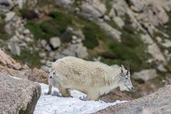 Няня и ребенк козы горы в снеге стоковая фотография rf