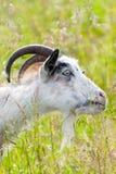 Няня-коза Стоковое Изображение