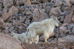 Няня козы горы и ее дети стоковое фото rf