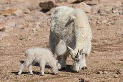 Няня козы горы и ее ребенк пася стоковые фото