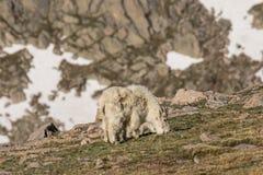 Няня козы горы и ее ребенк стоковое фото rf