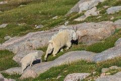 Няня козы горы и ее ребенк стоковые фотографии rf