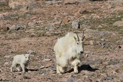Няня козы горы и милый ребенк стоковые изображения rf