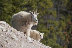 Няня козы горы и Oreamnos ребенк americanus стоковая фотография
