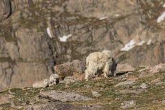 Няня козы горы с ее детьми стоковое фото rf