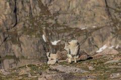 Няня козы горы с ее милыми детьми стоковое изображение rf