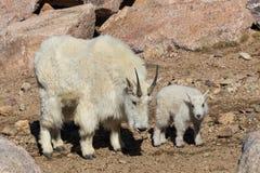 Няня козы горы с ее ребенк стоковые фотографии rf