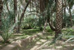 Оазис ОАЭ финиковой пальмы Стоковое фото RF