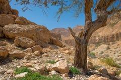 Оазис пустыни En Gedi на западном береге мертвого моря в Isr Стоковая Фотография RF