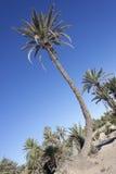 Оазис финиковых пальм (Феникса dactylifera). Стоковая Фотография