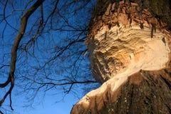 Обгрызенное дерево стоковое фото rf