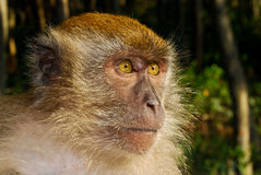обдумывать примат Стоковое фото RF