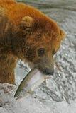 обедающий медведя grizzy Стоковая Фотография RF