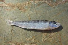 Обезвоженные рыбы Стоковые Фотографии RF