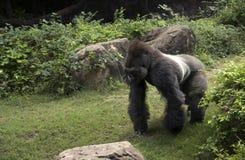 Обезьяна африканского silverback гориллы мужского большая Африки сидя в зеленых кустах джунглей стоковое изображение rf