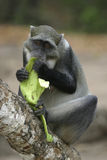обезьяна банана стоковое изображение rf