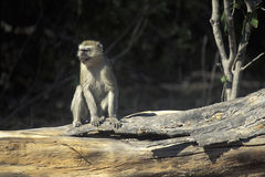 Обезьяна бархата, Ботсвана Стоковая Фотография RF
