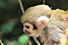 Обезьяна белки, обезьяны нового мира, зоопарк Феникса, Феникс, Аризона стоковое изображение rf