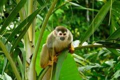 Обезьяна белки в национальном парке Манюэля Антонио, Коста-Рика Стоковое Изображение RF