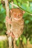 обезьяна более tarsier Стоковые Изображения RF