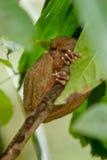 обезьяна более tarsier Стоковое Фото