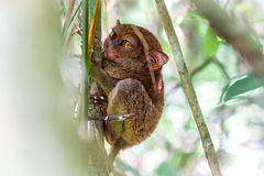 обезьяна более tarsier Стоковое фото RF