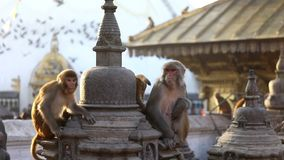 Обезьяна в буддийском виске в Катманду видеоматериал